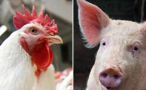 Custos de produção de suínos e de frangos de corte caem 2% em abril
