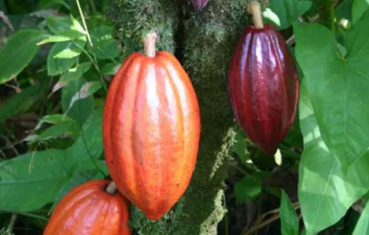 O poder do chocolate: cacau orgânico tira pequenos agricultores da pobreza