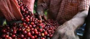 Projeto acompanha a seleção de variedades de café no Oeste de MG