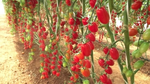 Produtores de Colombo apostam no cultivo do tomate grape