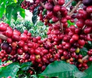 Barista desenvolve processo de pós-colheita que aumenta em até 10 vezes o valor da saca produzida