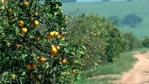 Citrus: Menor produção eleva demanda nas indústrias e preços da fruta