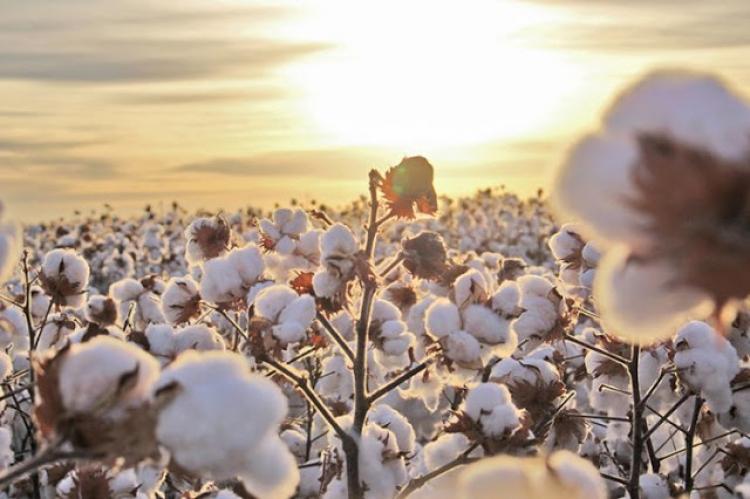 Argentina autoriza novo algodão transgênico