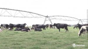 Conforto das vacas criadas a pasto: a importância da sombra
