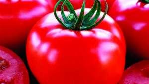 Tomates holandeses são pioneiros em sustentabilidade