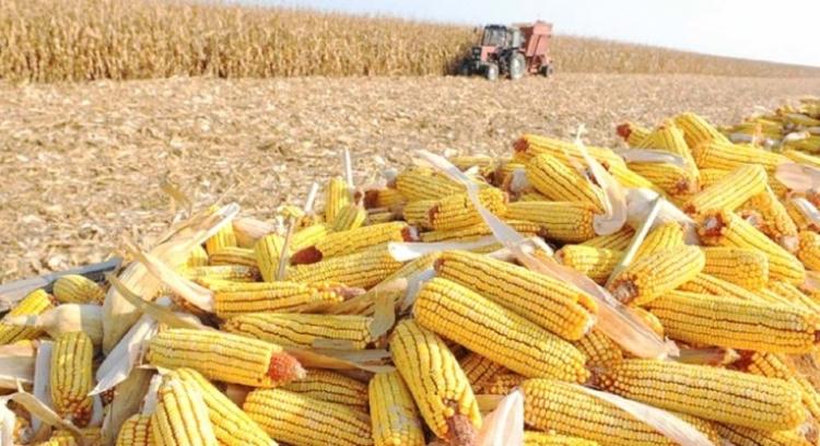 Produtores finalizam colheita da safrinha de milho em Nova Ubiratã (MT) e queda na produtividade é de 15%