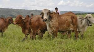 Prova de produção de leite destaca novilhas mais produtivas