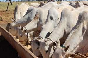 Sal mineral deve ser dado para os bovinos o ano todo
