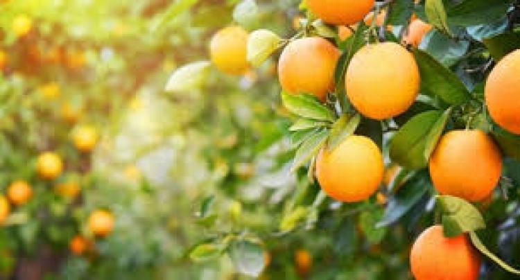 Citrus: Chuvas impactam ainda mais a qualidade das laranjas