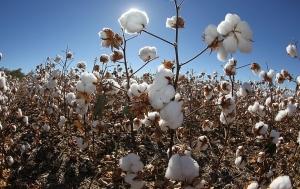 Ciência avança na descoberta de algodão resistente a seca