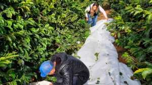 Eficiência da colheita mecanizada na cultivar de café Arara