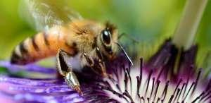 Europa revisa orientações sobre pesticidas e abelhas
