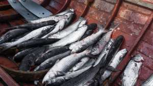 Pescados: 11% de amostras coletadas pela Agricultura apresentam inconformidades