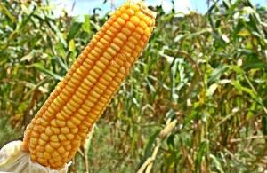 Produto para diminuir agrotóxicos em plantações de milho