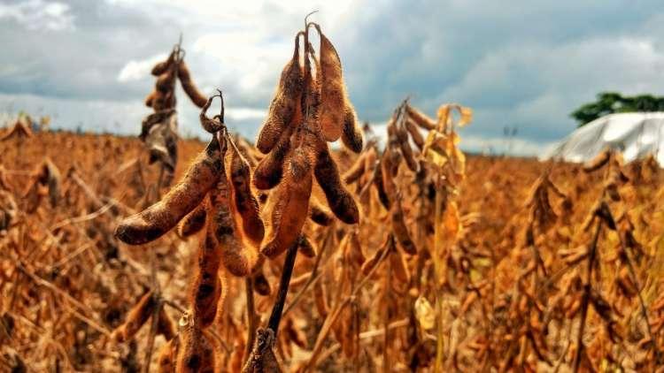 Produtividade da soja dobrou nos últimos 50 anos, diz estudo