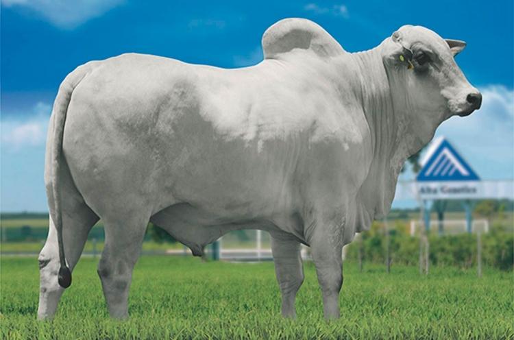 Oferta curta pressiona para cima os preços da arroba do boi gordo