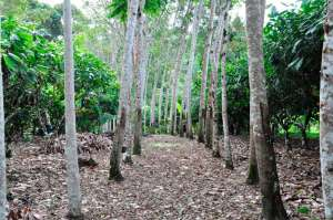 Plantio em sistemas agroflorestais viabiliza produção de cacau em diferentes biomas