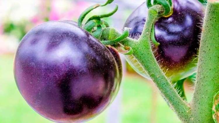 Desenvolvido tomate roxo rico em antocianinas