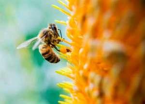 Desenvolvido primeiro fungicida aplicado por abelhas
