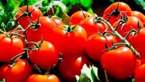 Epagri lança sistema orgânico de produção de tomate