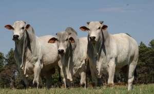 Scot Consultoria: Mercado do boi parado, mas atenção ao período do mês