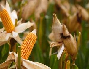 Novo híbrido de milho protege safra de praga que reduz produtividade em até 50%