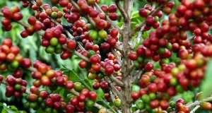 Cenário Macro pressiona a cotação do café