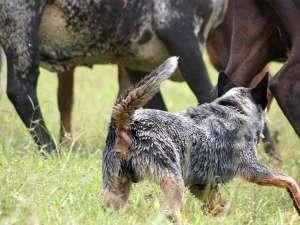 Cães de pastoreio: como eles podem ajudar no manejo do rebanho?