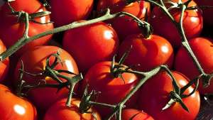 Conheça medidas alternativas para controle de lagartas em tomateiros