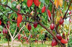 Cacau: Brasil é reconhecido pela ICCO como exportador de produto fino e de aroma