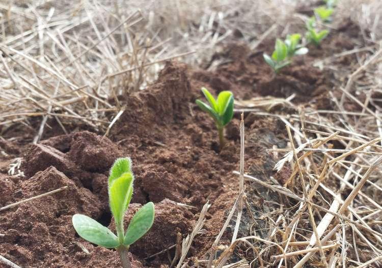 Hormônio vegetal acelera o crescimento das raízes