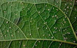 Transmissora de viroses, 'nova' mosca branca é encontrada pela 1ª vez em MT